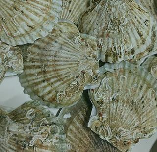 ホタテ貝殻焼成パウダー